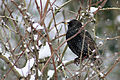Common Starling (Sturnus vulgaris) In The Snow.jpg