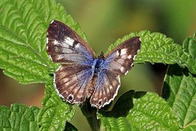 Common bush blue (Cacyreus lingeus) female.jpg