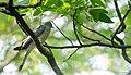 Common hawk-cuckoo Nelliyampathy.jpg