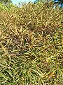 Comptonia peregrina HabitusLeavesFall BotGardBln0906.JPG