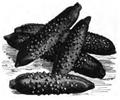 Concombre à cornichons Vilmorin-Andrieux 1883.png