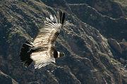 Гибнут птицы и от пуль скотоводов, которые ненавидят их.  Калифорнийский кондор в природе уже не встречается.