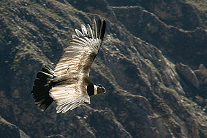 Andeskondor (Vultur gryphus) kredserover Colca-kløften i det sydlige Peru.