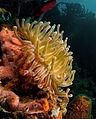 Condylactis gigantea (Giant Anemone - yellow & pink tip variation) edit.jpg