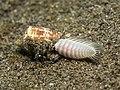 Cone snail (Conasprella jaspidea pealii) eating a fireworm. (2 2) (31674984503).jpg