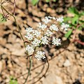 Conopodium majus in Chablais (3).jpg