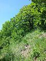 Conringia austriaca sl3.jpg