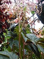 Conservatoire du bégonia 2015. Begonia 'Paul Hernandez' bis 01.JPG