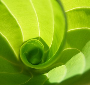 Vernation - This hosta leaf is produced by convolute vernation.