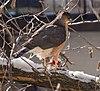 Cooper's hawk (52547).jpg