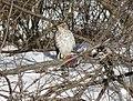 Cooper's hawk feeding on a blue jay 3.jpg
