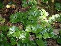 Coptis trifolia, Pancake Bay PP.jpg