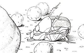 <i>Eurysternus</i> Genus of beetles