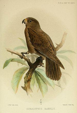Seychelles black parrot - Image: Coracopsis Barklyi Wolf