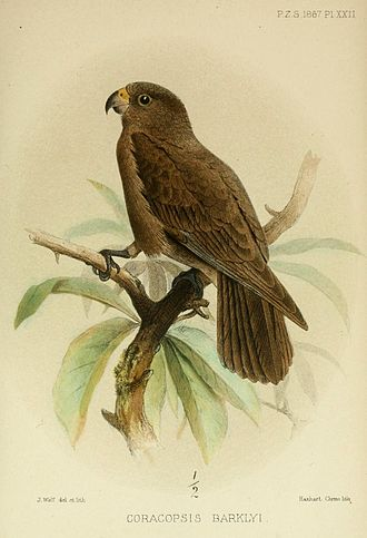 Seychelles black parrot - Image: Coracopsis Barklyi Wolf