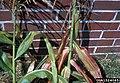 Corn Stunt leaves.jpg