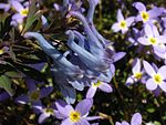 Corydalis flexuosa 'China Blue' 3.JPG