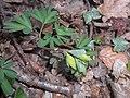 Corydalis intermedia 2018-04-09 7937.jpg