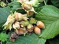 Corylus avellana. Ablanal (frutu).jpg