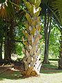 Corypha umbraculifera-Jardin botanique de Kandy (2).jpg