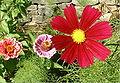 Cosmo flowering.jpg