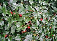 Cotoneaster-dammeri-berries