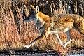 Coyote (5500612102).jpg