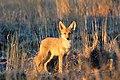 Coyote Pup (5968099218).jpg