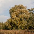 Crack willow Lodz(Poland)(js).05.jpg