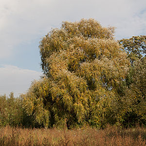 Crack willow Lodz(Poland)(js).05.jpg