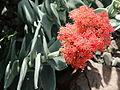 Crassula perfoliata var. falcata-IMG 0685.JPG
