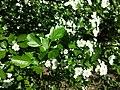 Crataegus laevigata (subsp. laevigata) sl24.jpg