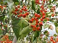 Crataegus phaenopyrum 4.jpeg