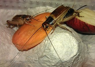 Cricket (insect) - Two adult domestic crickets, Acheta domestica, feeding on carrot