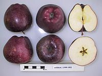 Cross section of Averdal, National Fruit Collection (acc. 1999-003).jpg