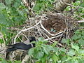 Crow's nest with eggs.jpg