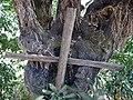 Crucifix in Tree Bough - Outside Entons Church - Lake Tana - Near Bahir Dar - Ethiopia (8680688086).jpg