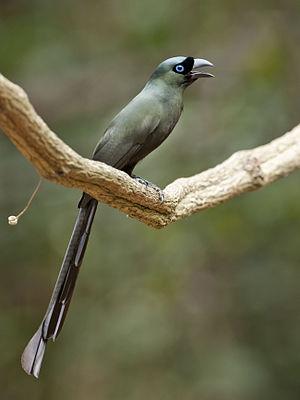 Racket-tailed treepie - Image: Crypsirina temia