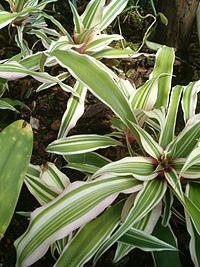 C. bromelioides 'Tricolor'