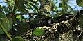 Ctenosaura acanthura, Mexican Spiny-tailed Iguana, Tamaulipas.jpg