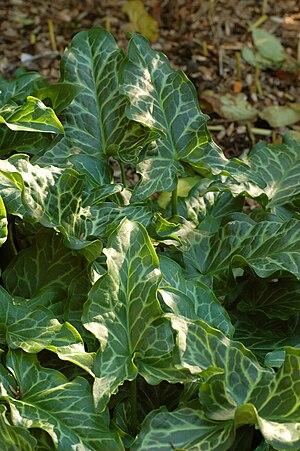 Arum italicum - Image: Cuckoo Pint Arum italicum Leaves 2000px
