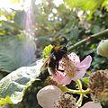 Cuckoo bumblebee (Bombus vestalis) on a flower, Sandy, Bedfordshire (9282643719).jpg