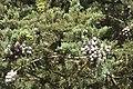 Cupressus macrocarpa-4363.jpg