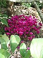 Cyclamen hederifolium dark pink - Flickr - peganum (3).jpg