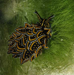 Cyerce nigricans.png