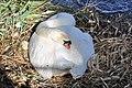 Cygnus olor (Küken) - Arboretum 2011-05-28 17-43-16.jpg