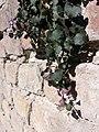 Cymbalaria muralis sl4.jpg