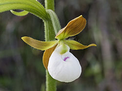 Cypripedium californicum - Flickr 002.jpg