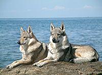 Czechoslovakian Wolfdog pair.jpg