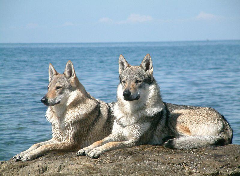 Soubor:Czechoslovakian Wolfdog pair.jpg